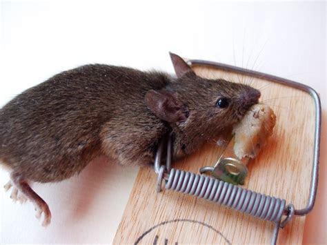 Image Gallery dead mice