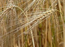 Barley J1.jpg