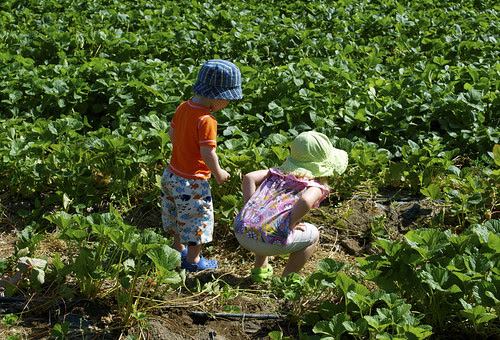 strawberrypicking1