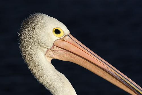 Pelican at Lakes Entrance, Victoria, Australia IMG_4938_Lakes_Entrance