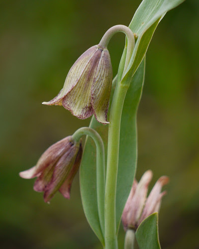 fritillaria biflora or agrestis?