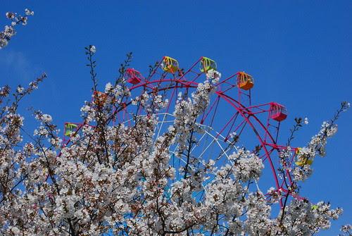 cherry tree and ferris wheel