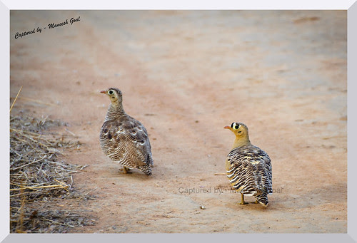 Mr. (right) & Mrs. (left) Painted Sandgrouse
