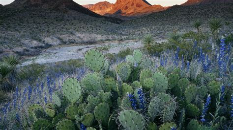 bluebonnet flower wallpaper