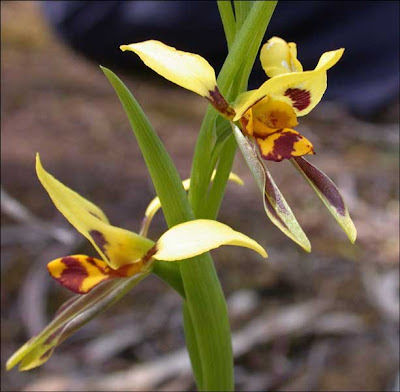 Tiger Orchid Diuris sulphurea