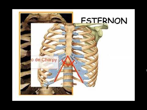 Anatomia Huesos Del T Rax