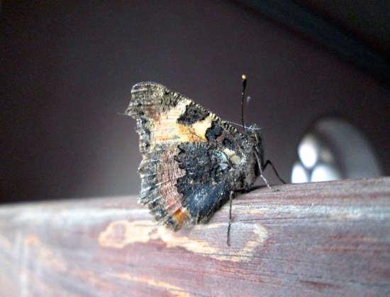 butterflysurvivor.jpg