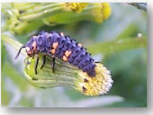 larva2