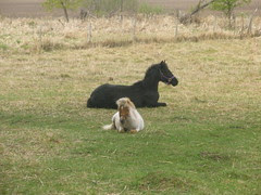 Bailey and Hoss Resting in Pasture