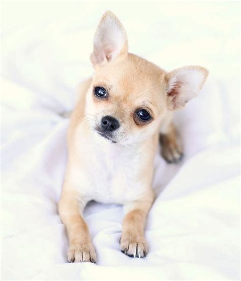17 Best images about Chihuahua on Pinterest   Chihuahuas