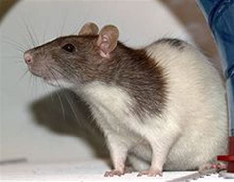 Fancy rat   Wikipedia