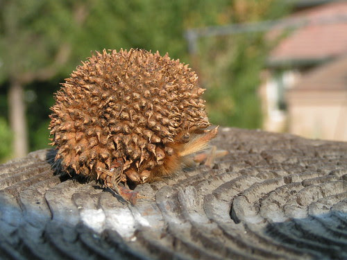 spiky seed thing looks like a hedgehog 2