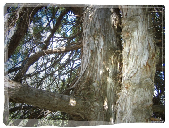 The tree our branch of juniper wood comes from