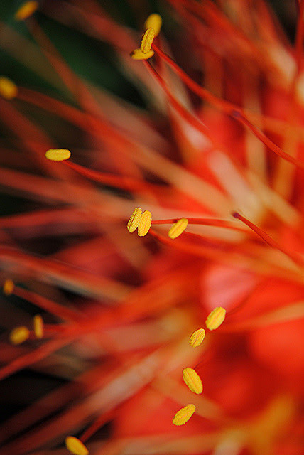 blogasm:  Brownea stamens glow in the bright light by jungle mama on Flickr.