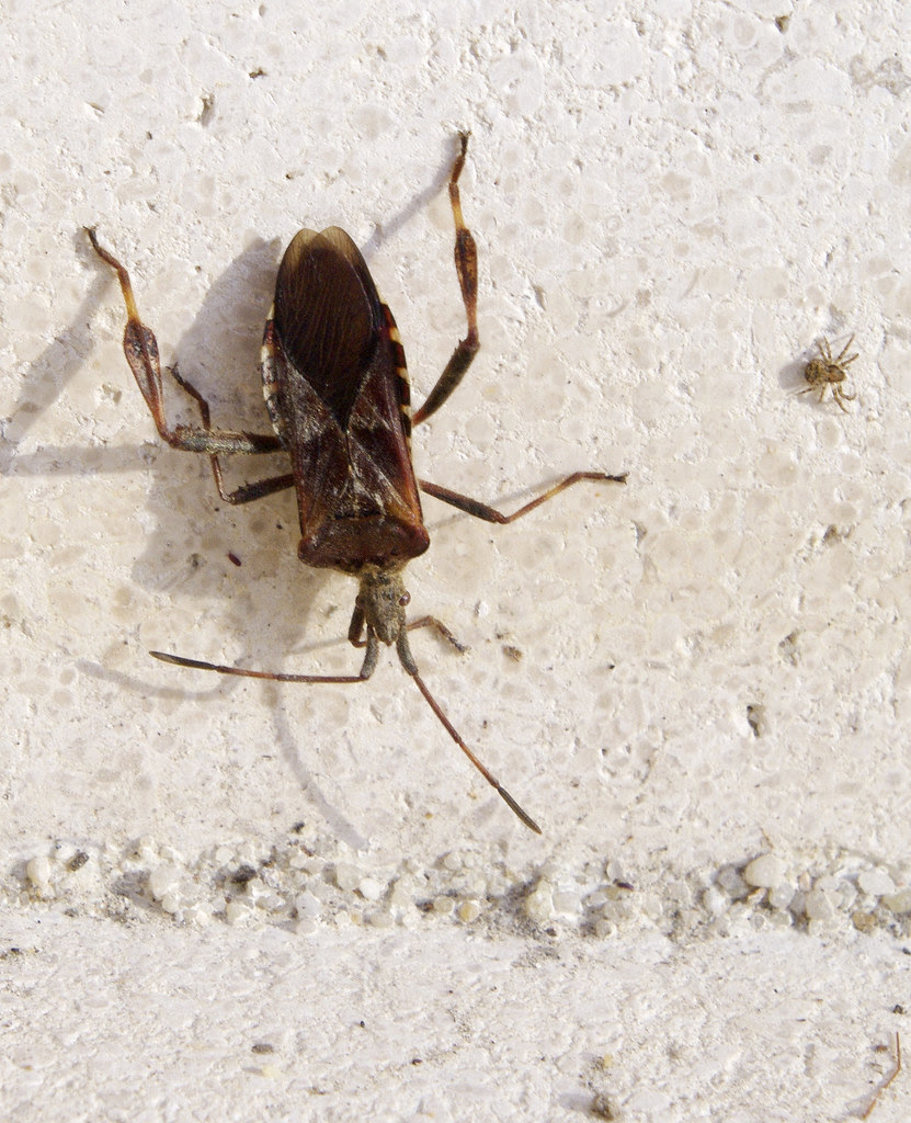 Sucking Bug [PK70031] (Leptoglossus occidentalis)