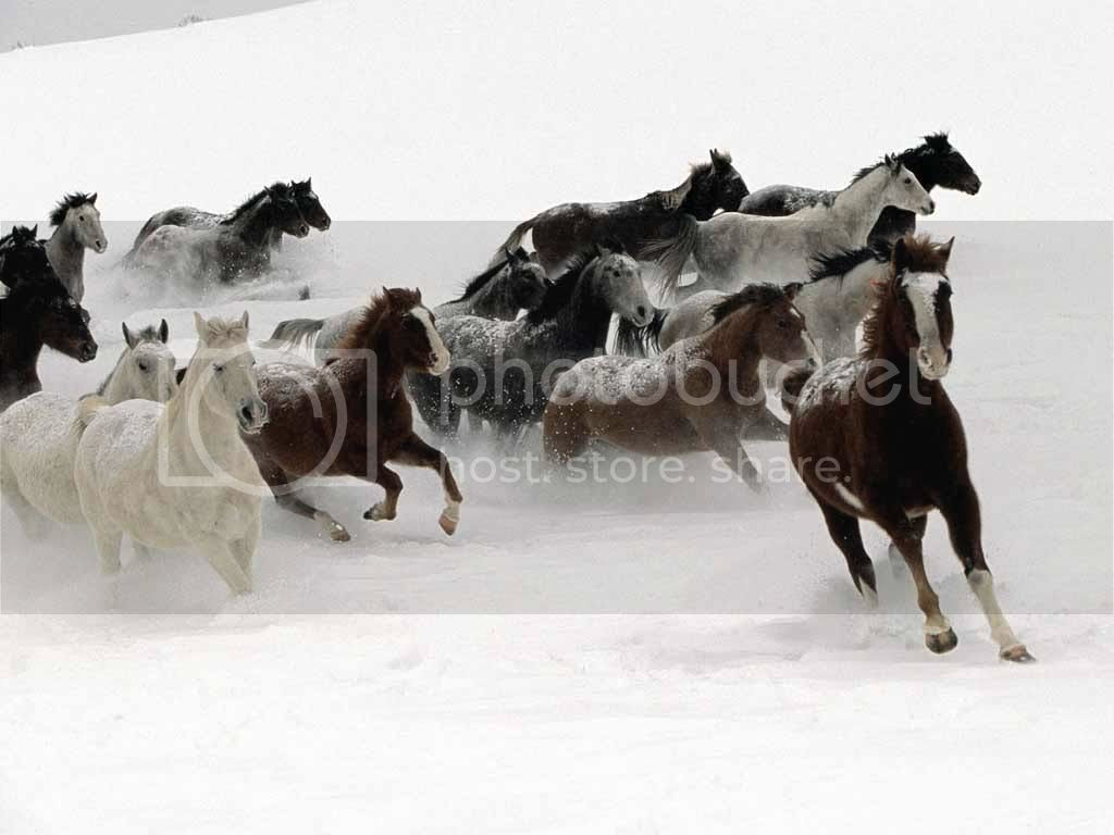 Wild Horses Snow Pictures, Images and Photos