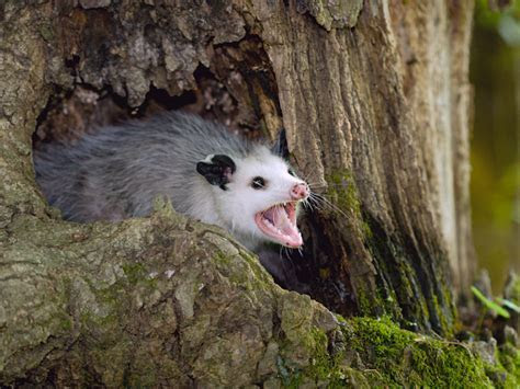 Opossum Facts: Removal & Control of Opossums PestWorld