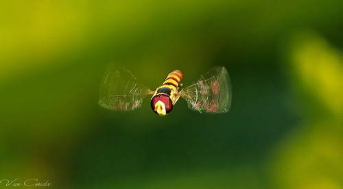 Hoverfly Freez