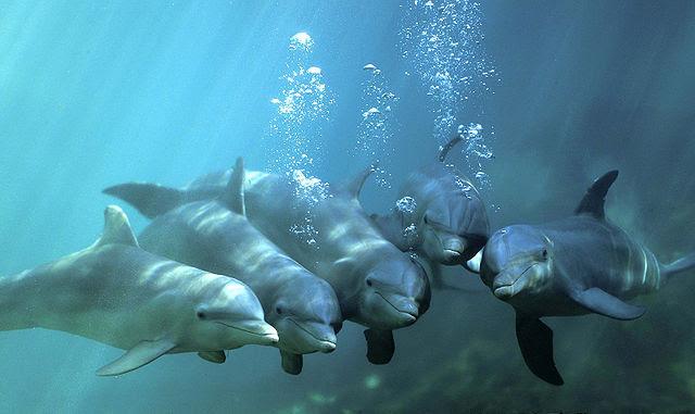 dolphintruncatas