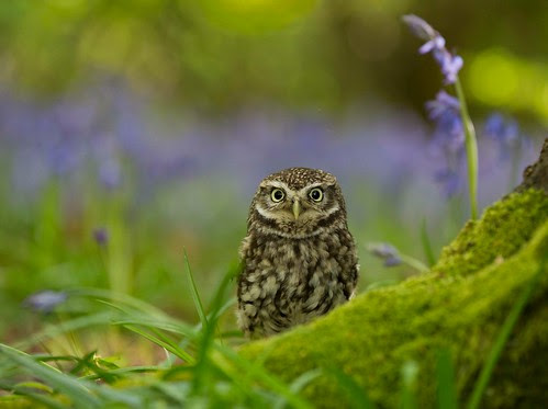 Little Owl ...
