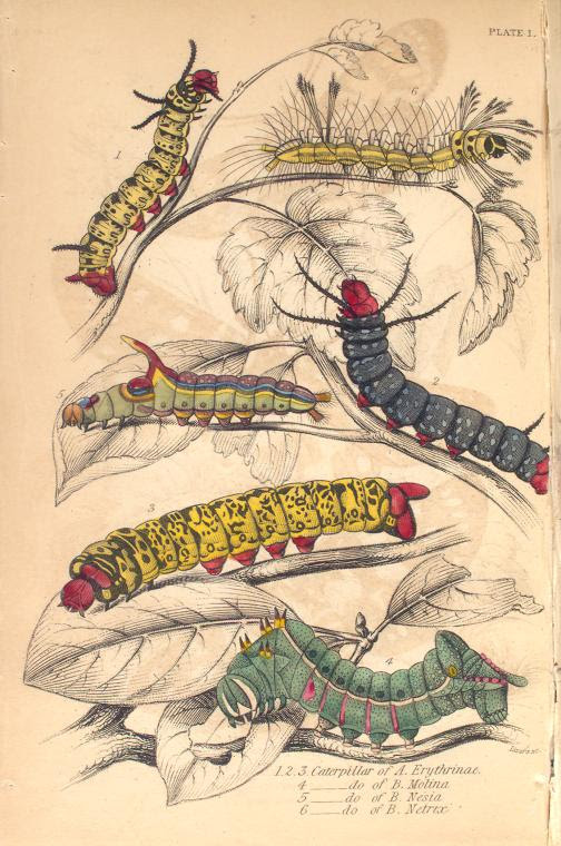1.2.3. Caterpillar of A. Erythrinae; 4. Caterpillar of B. Motina; 5. Caterpillar of B. Nesia; 6. Caterpillar of B. Netri...  (1843)