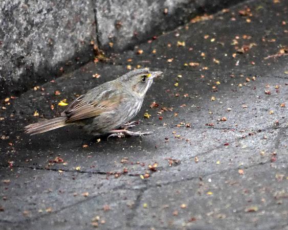 Ed Gaillard: birds &emdash; Seaside Sparrow, Hudson River Greenway, W. 55th Street