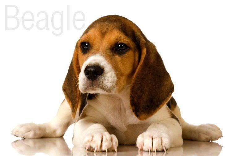 Beagle Puppies For Adoption In Mumbai