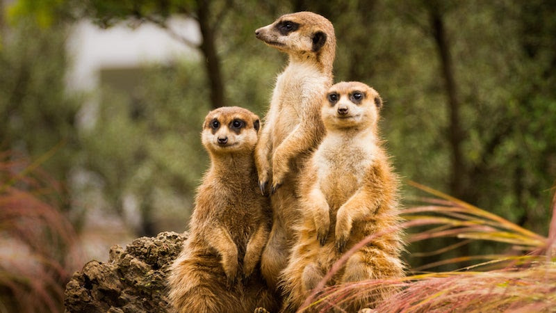 This Meerkat Expert Is in the Dog House For Going Apeshit on a Monkey Handler
