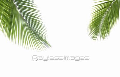 ヤシの葉の写真イラスト素材 写真素材ストックフォトの定額制