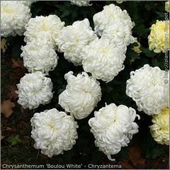Chrysanthemum 'Boulou White' - Chryzantema