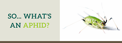 What Are Aphids Aphid Insect Facts Habitat Control Options
