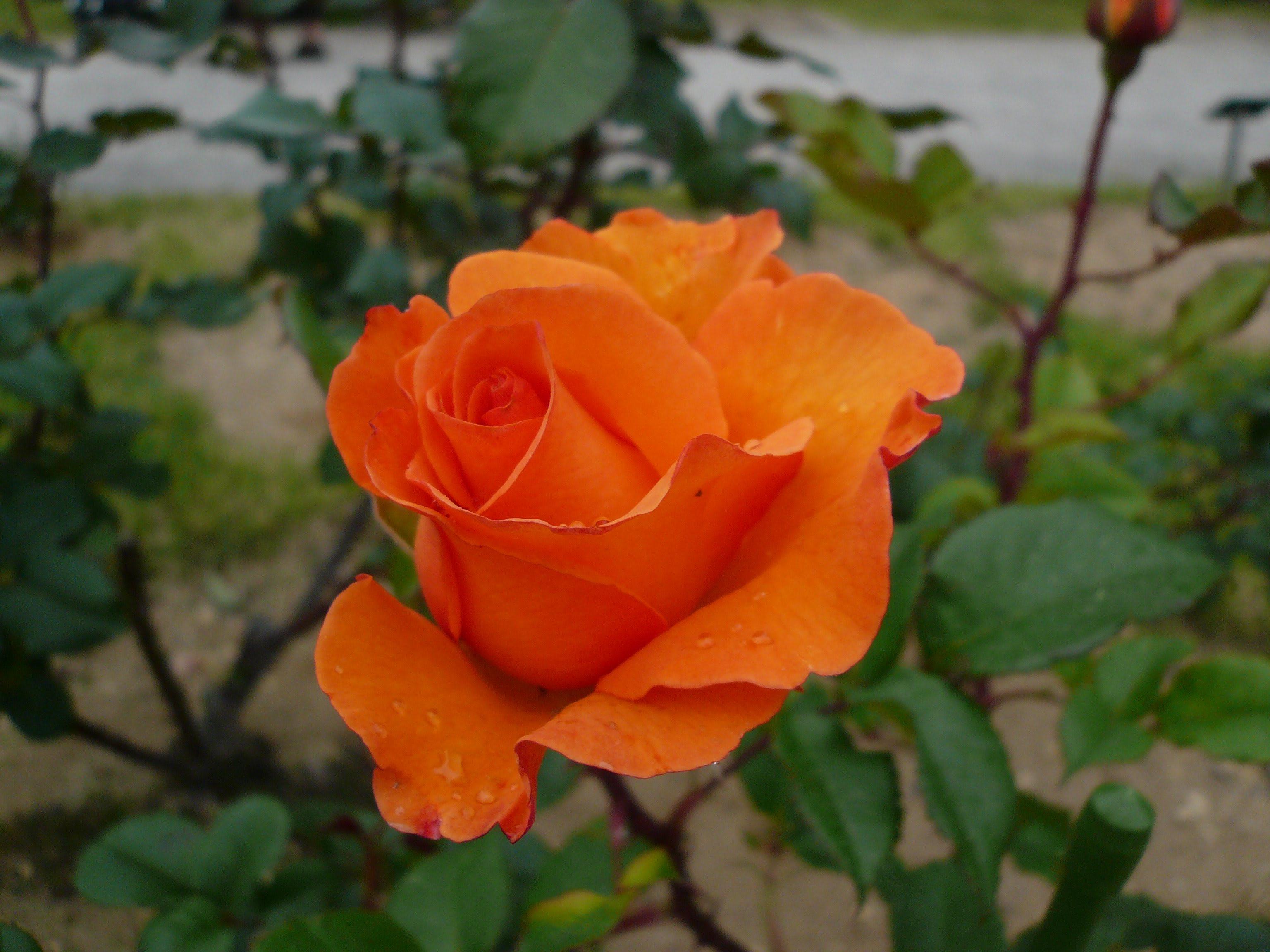 敷島公園 ばら園 の花 2009 3 上総の写真 クリックすると壁紙