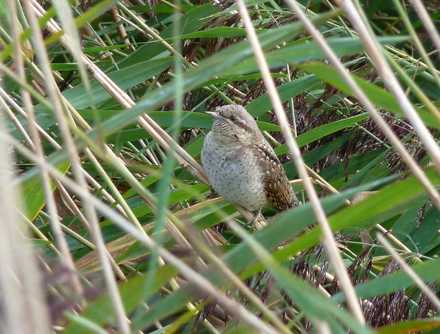 25057 - Wryneck, Newport Wetlands