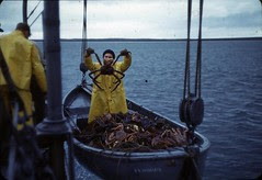 Example of catch from gill netting hoisted on ...
