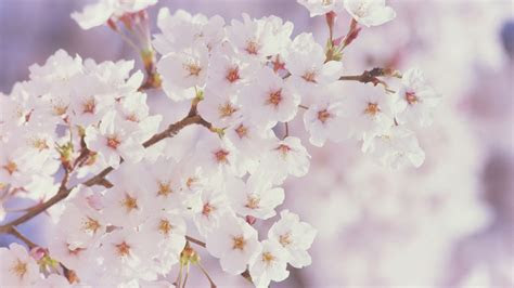 cherry blossom widescreen wallpaper wide wallpapersnet
