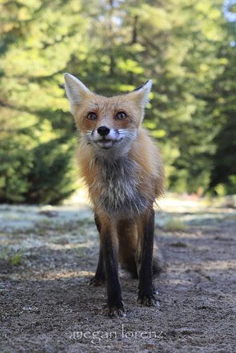 Fox by Megan Lorenz