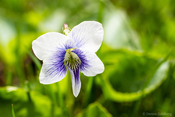 a viola of sorts, white with details in purple