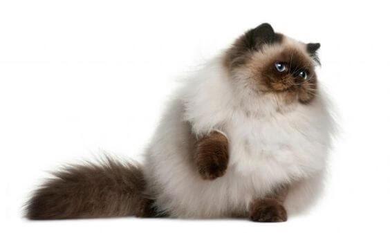 Unduh 94+  Gambar Semua Jenis Kucing Persia Terbaik HD