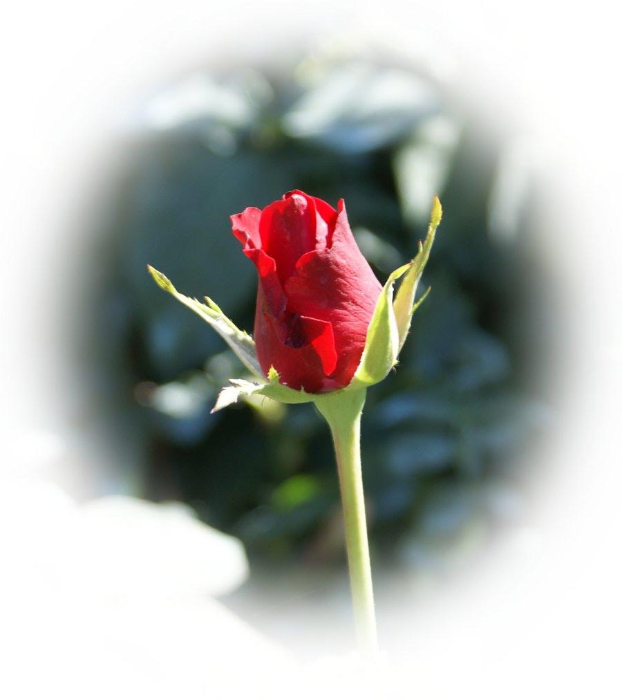 Postales Rosas Rojas