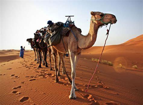 PantherKut ? Desert Camel Caravans