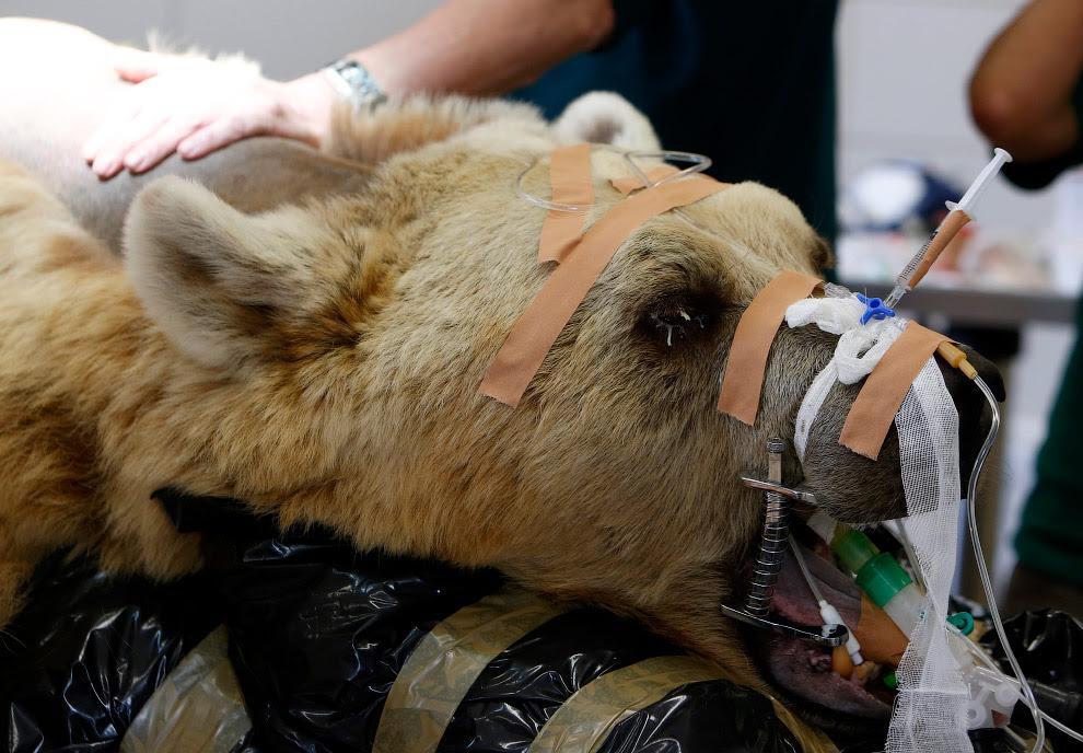 Сирійський бурий ведмідь готується до операції
