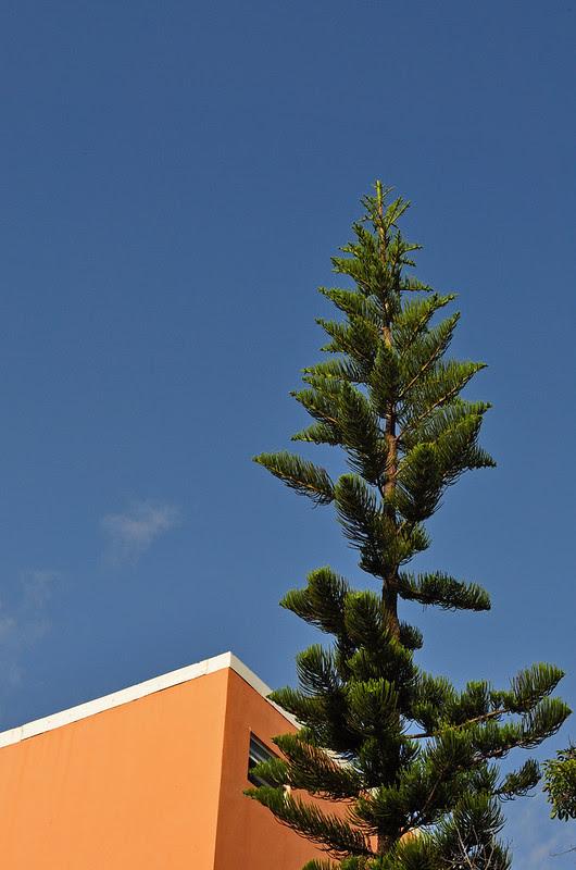 Norfolk Island Pine (2)