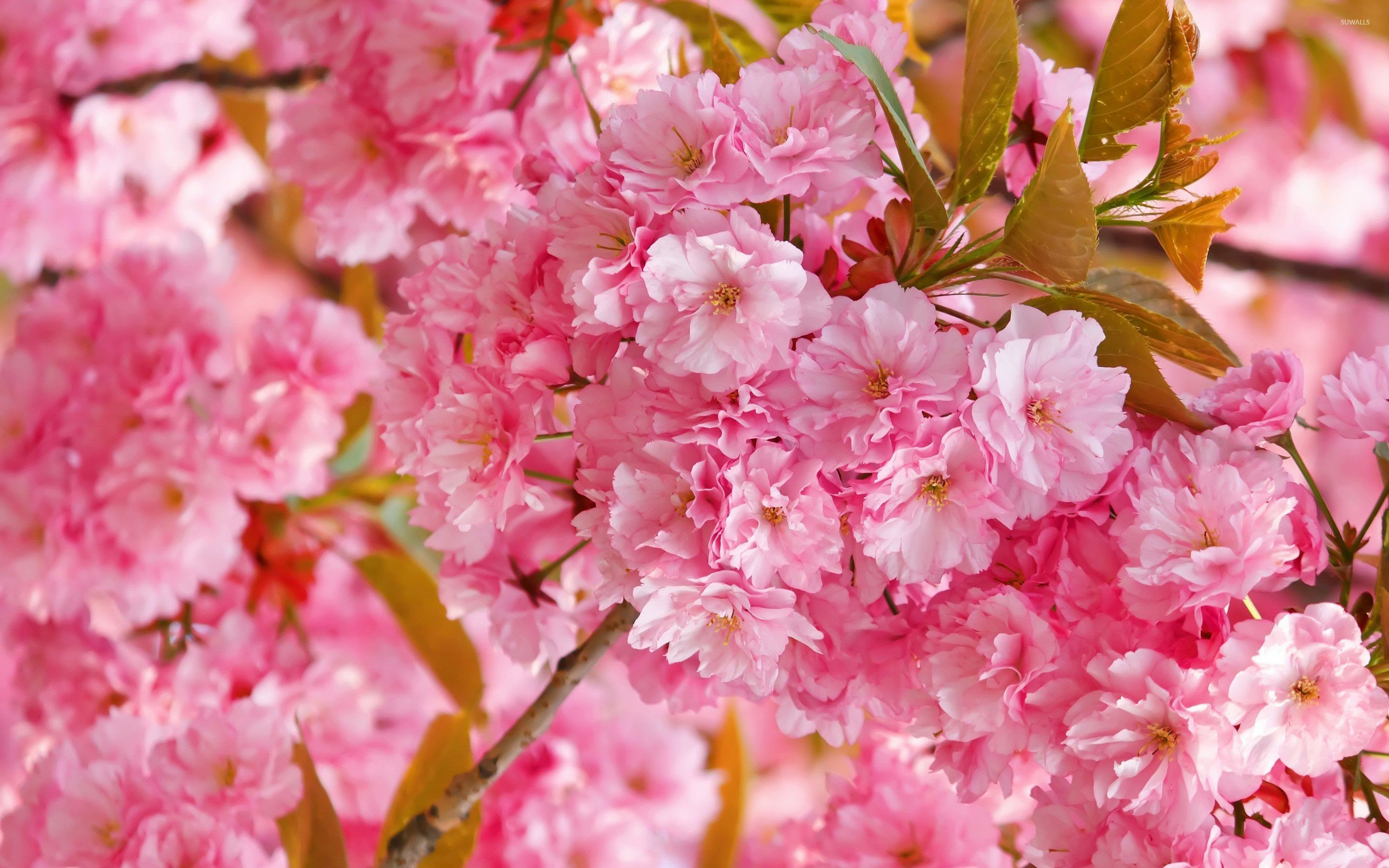 Pink Cherry Blossom Wallpaper (62+ images)