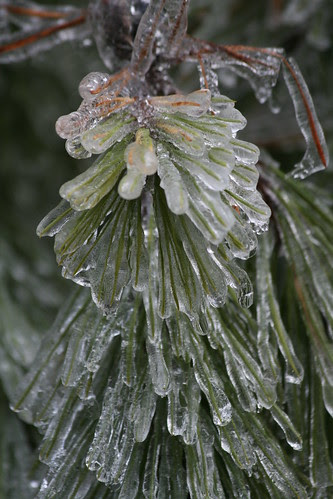 Pine tree in ice