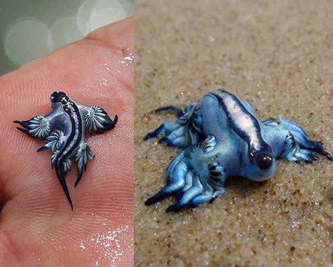μπλε δράκος Glaucus Atlanticus