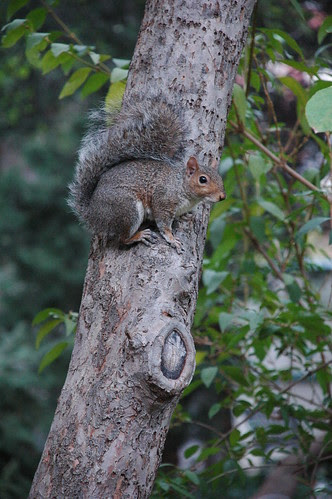 Squirrel on old Apple Tree