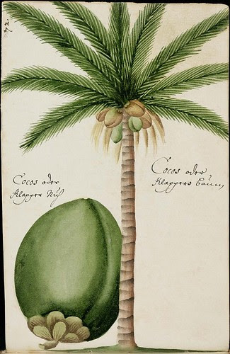 drawing of coconut tree & coconut