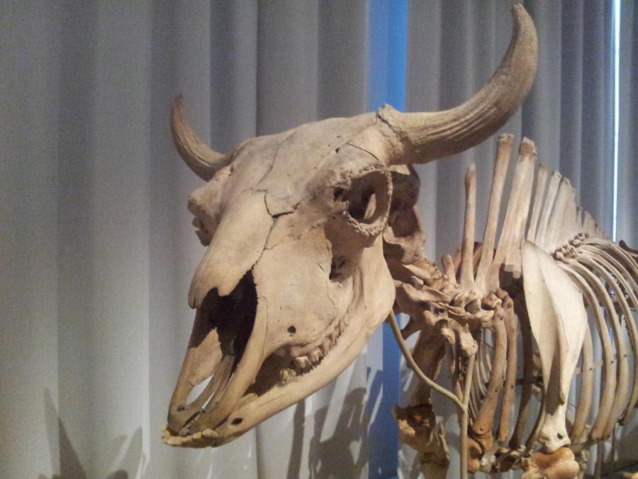 Download Cow Head Skull by JeiDoll on DeviantArt