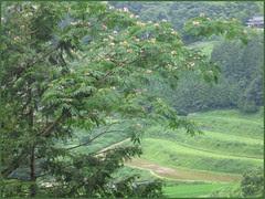 17 momosa green tanada