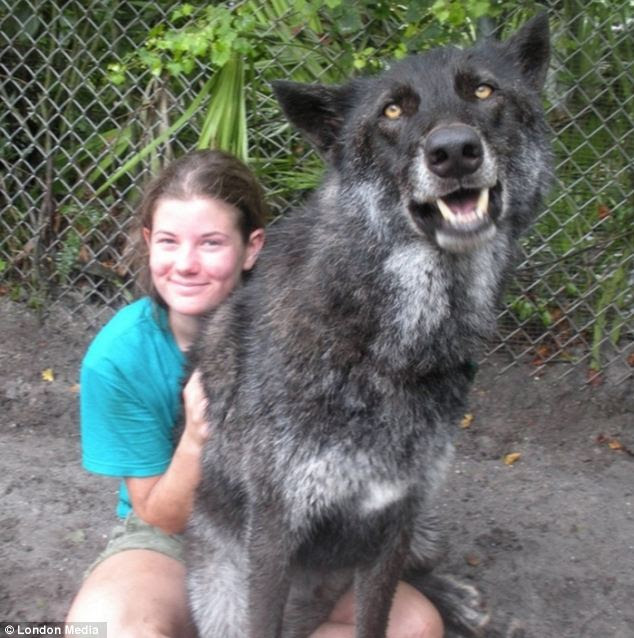 Huge: This friendly wolf-like beast is way bigger than its owner